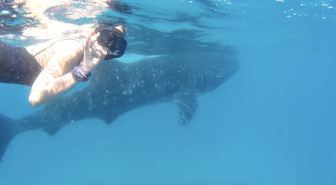 Walvishaai in Cebu, Filipijnen